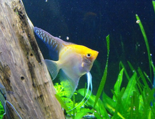 freshwater fish - pterophyllum sp. - gold veil angel stocking in 55 gallons tank - Angel Fish