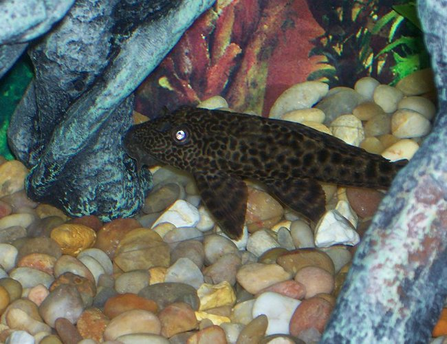 freshwater fish - pseudoacanthicus leopardus - redtail leopard pleco (l-114) stocking in 30 gallons tank - this is my algea eater
