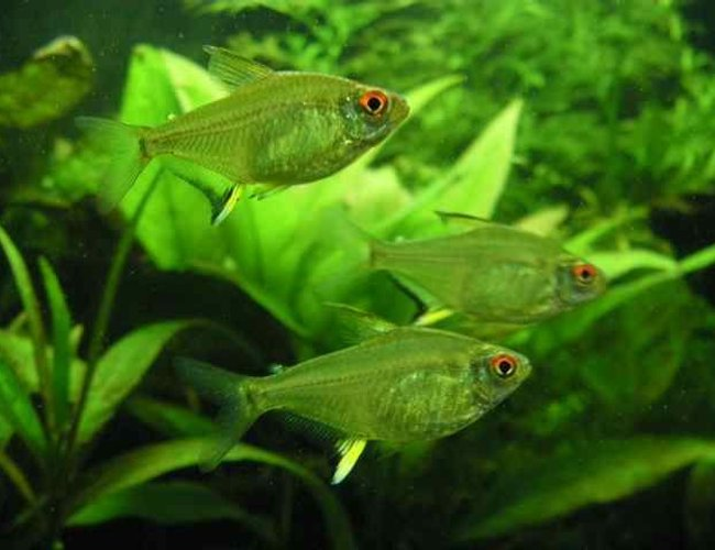 freshwater fish - hyphessobrycon pulchripinnis - lemon tetra stocking in 26 gallons tank - 3 lemon tetras