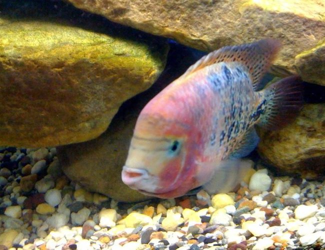 freshwater fish - cichlasoma synspilum - redheaded cichlid stocking in 75 gallons tank - synspilum