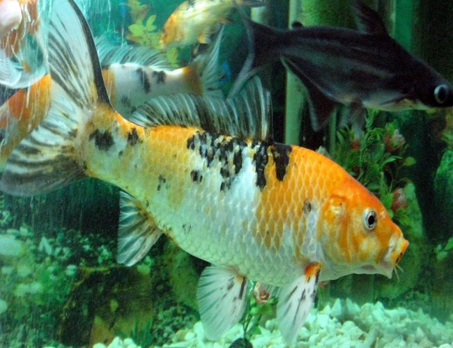freshwater fish - cyprinus carpio - koi stocking in 30 gallons tank - my hungry koi fish...(yasir)