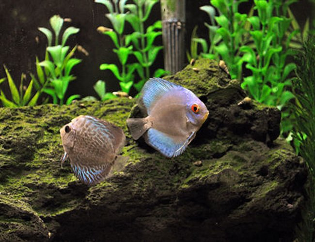 freshwater fish - symphysodon sp. - blue diamond discus stocking in 55 gallons tank - My new discus - blue diamond and a blue snakeskin.