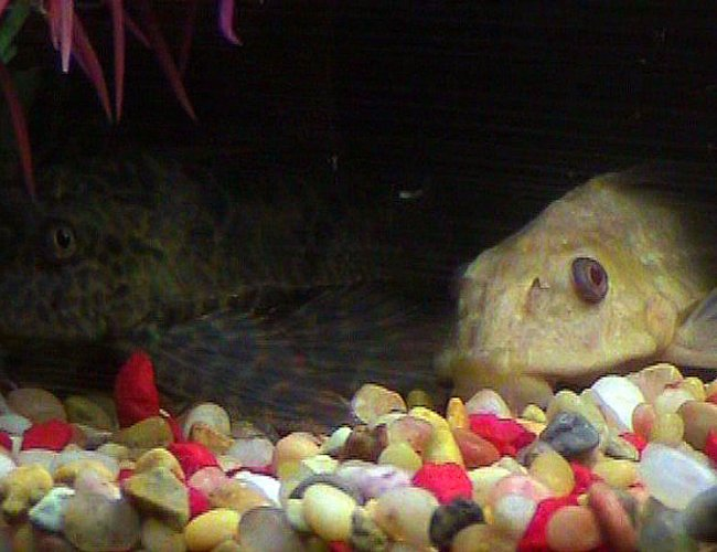 freshwater fish - glyptoperichthys scrophus - chocolate pleco stocking in 20 gallons tank - High-Finned Spotted Pleco and Chocolate Albino Pleco...they're buddies. =)