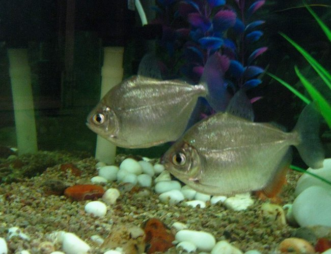 freshwater fish - metynnis argenteus - silver dollar stocking in 90 gallons tank - silver doller