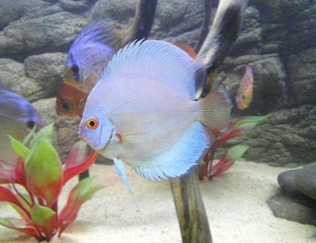 freshwater fish - symphysodon sp. - blue diamond discus stocking in 125 gallons tank - Blue Diamond