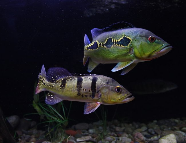 freshwater fish - cichla orinocensis - orinoco peacock bass stocking in 350 gallons tank - Cichla Orinocensis and Kelberi