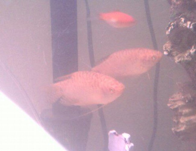 freshwater fish - trichogaster trichopterus - gold gourami stocking in 75 gallons tank