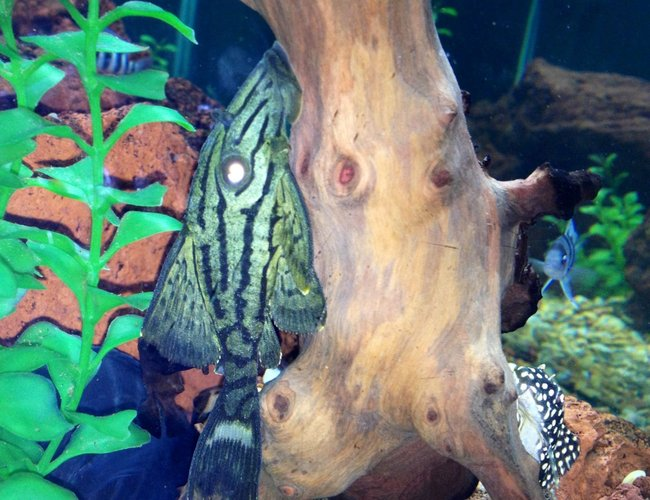 freshwater fish - panaque nigrolineatus l-191 - royal pleco stocking in 75 gallons tank - Royal pleco