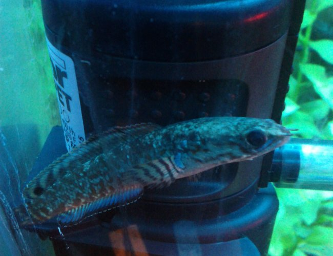 freshwater fish - channa bleheri - rainbow snakehead stocking in 15 gallons tank - rainbow snakehead, i have two and they are best fish i have ever had by a long way!!!!! :D