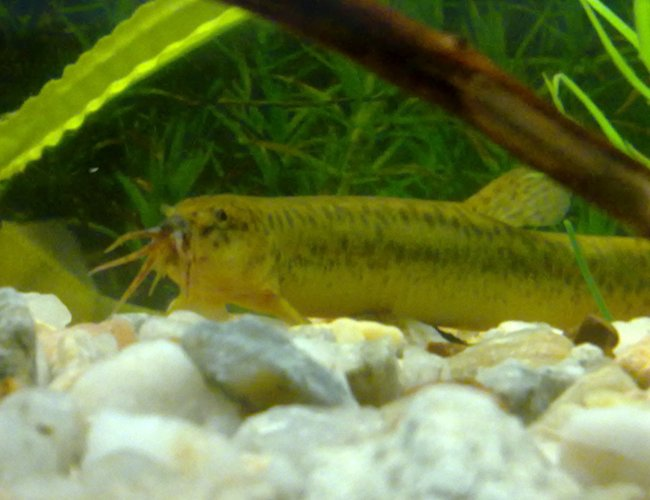 freshwater fish - misgurnus anguillicaudatus - dojo loach stocking in 90 gallons tank - Japanese Weather Loach