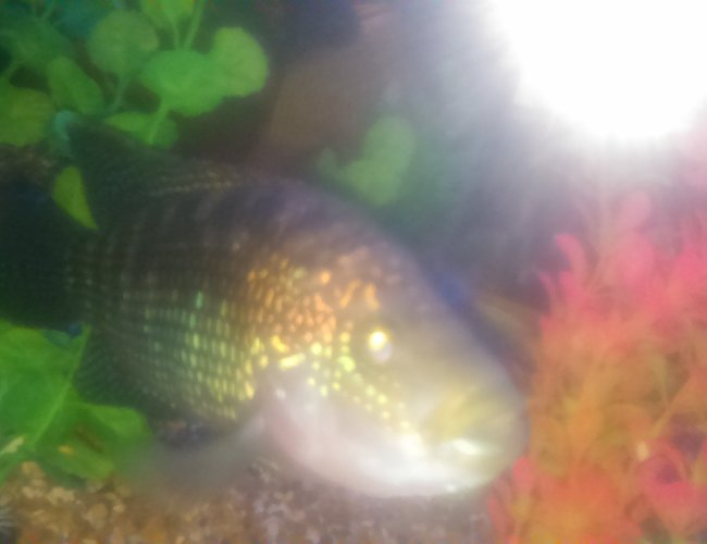 freshwater fish stocking in 90 gallons tank - Jack dempsey