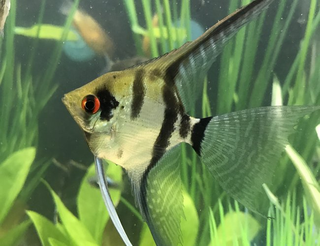 freshwater fish stocking in 29 gallons tank - Zebra veil angel