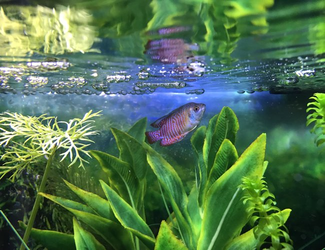freshwater fish stocking in 10 gallons tank - My Dwarf gourami