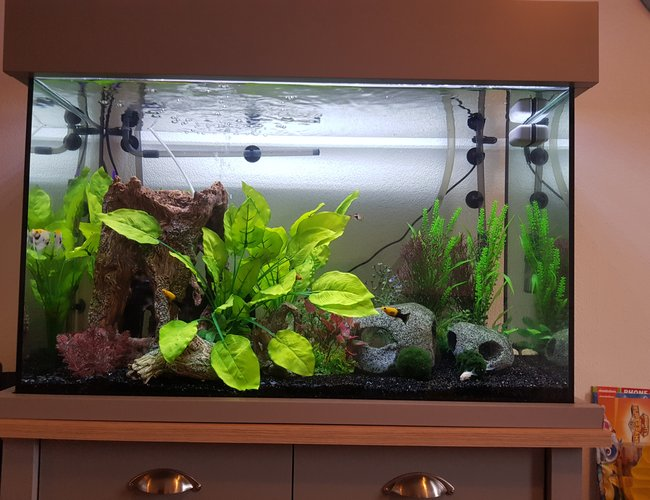 freshwater fish stocking in 32 gallons tank - Fairly new setup so fish have some growing to do.