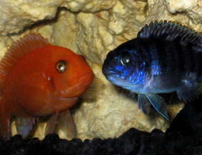 freshwater fish - aulonocara sp. - strawberry peacock cichlid stocking in 32767 gallons tank - Cave Buddies