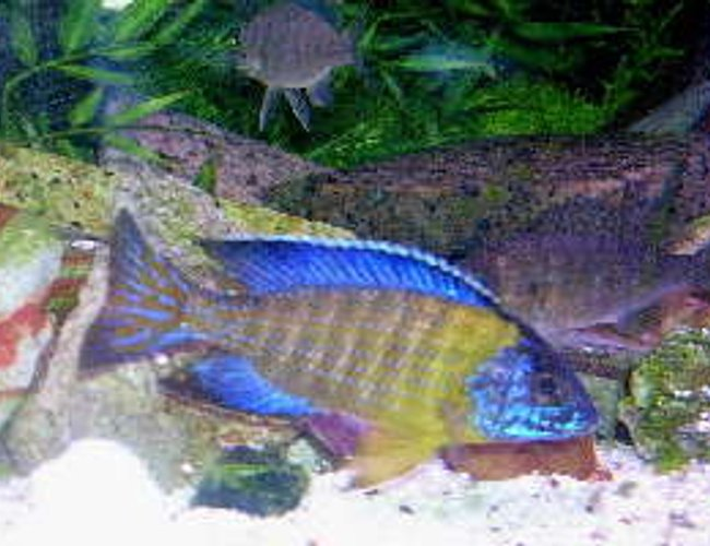 freshwater fish - aulonocara stuartgranti - peacock cichlid stocking in 95 gallons tank - Wild caught Aulonocara stuartgranti (blue neon Undu Reef) 