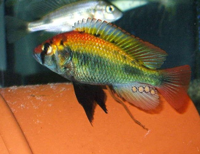 freshwater fish - haplochromis sp. stocking in 100 gallons tank - Hap Ruby Green