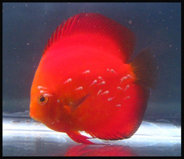 Rated #9: Freshwater Fish - Symphysodon Aequifasciatus - Golden Melon Discus Stocking In 127 Gallons Tank - Discus Golden Melon with fry