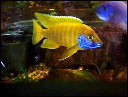 Rated #46: Freshwater Fish - Aulonocara Baenschi - Sunshine Peacock Stocking In 90 Gallons Tank - Sunshine peacock