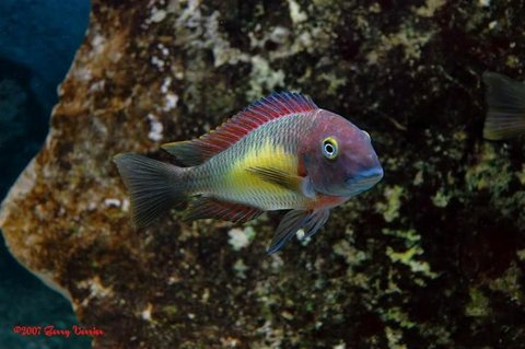 Rated #7: Freshwater Fish - Tropheus Moorii - Blunthead Cichlid Stocking In 125 Gallons Tank - Red Rainbow