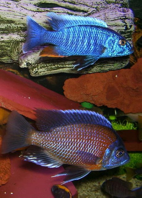 Rated #3: Freshwater Fish - Sciaenochromis Fryeri - Electric Blue Hap Stocking In 95 Gallons Tank - Sciaenochromis fryeri is on top and 