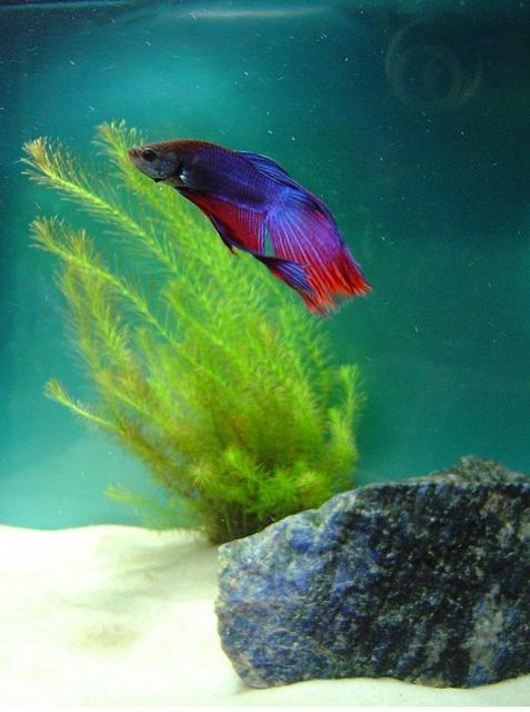 Rated #58: Freshwater Fish - Betta Splendens - Betta - Male Stocking In 10 Gallons Tank - Beta