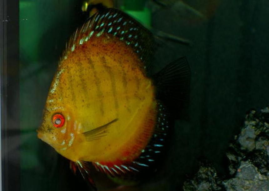 Rated #53: Freshwater Fish - Symphysodon Sp. - Royal Red Discus Stocking In 46 Gallons Tank - One Really big Discus
