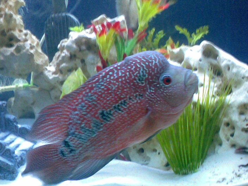Rated #45: Freshwater Fish - Cichlasoma Sp. - Flower Horn Cichlid Stocking In 46 Gallons Tank - My Magnificent 2 year old Flower beast. I got him when he was only 2 inches.. Check out the COLORS!!!!!!!!!!!