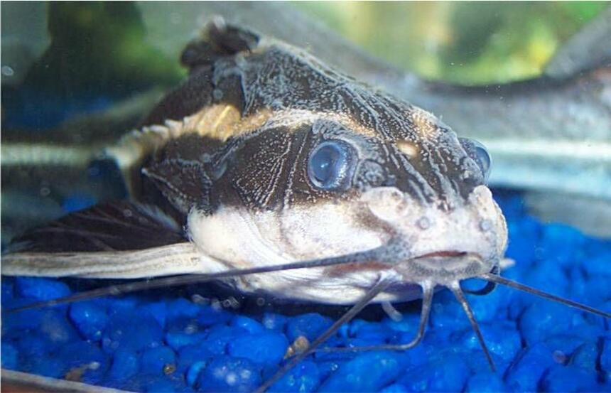 Rated #77: Freshwater Fish - Platydoras Costatus - Striped Raphael Catfish Stocking In 72 Gallons Tank - Striped Raphael Catfish, Platydoras Costatus