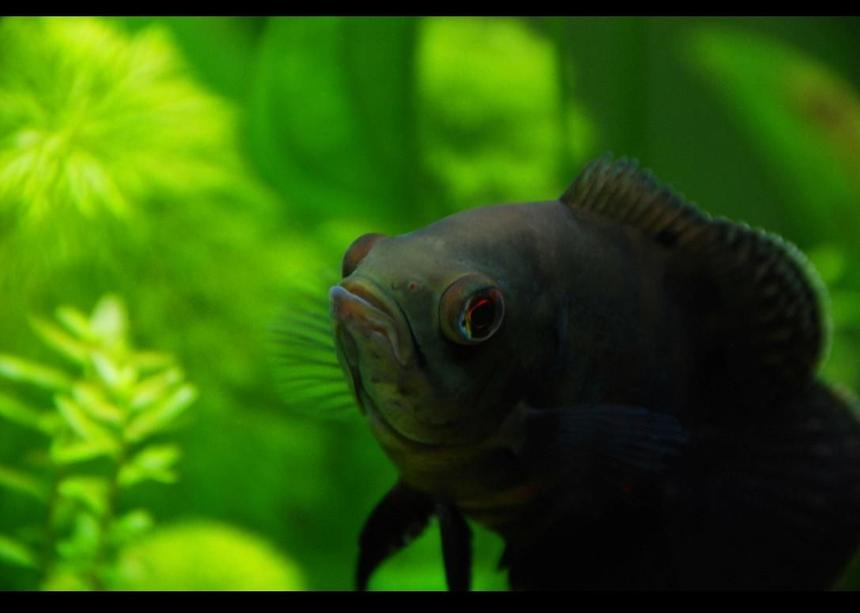 "Rated #42: Freshwater Fish - Astronotus Ocellatus - Oscar Stocking In 45 Gallons Tank - My 3"" oscar in his planted home :D,