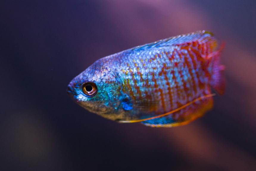 Rated #80: Freshwater Fish - Colisa Lalia - Neon Blue Dwarf Gourami Stocking In 28 Gallons Tank - Portrait of Dwarf Gourami