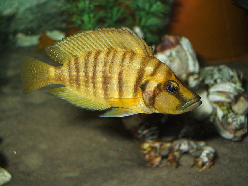 Rated #8: Freshwater Fish - Altolamprologus Compressicep - Gold Head Compressicep Cichlid Stocking In 100 Gallons Tank - Altolamprologus compressiceps
