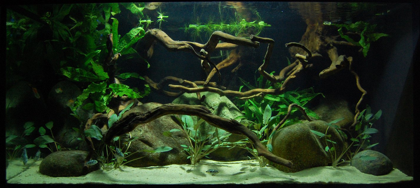 Rated #72: Freshwater Fish - Honduran Red Point Stocking In 40 Gallons Tank - 40 gallon fish tank with young Honduran Red Point