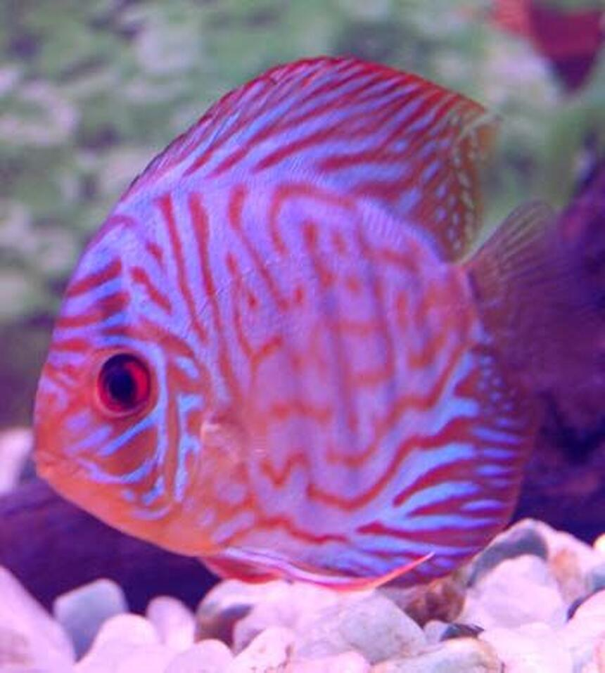 Rated #14: Freshwater Fish - Symphysodon Spp. - Red Turquoise Discus Stocking In 38 Gallons Tank - red turquoise