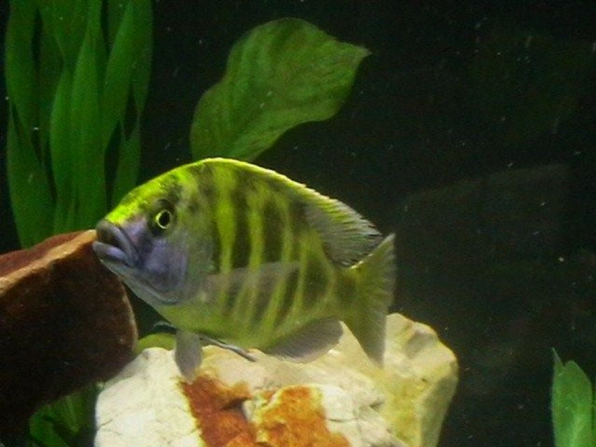 Rated #25: Freshwater Fish - Nimbochromis Venustus - Venustus Cichlid Stocking In 200 Gallons Tank - my cichild