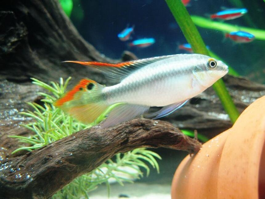Rated #15: Freshwater Fish - Pelvicachromis Pulcher - Kribensis Cichlid Stocking In 17 Gallons Tank - Male Pelvicachromis pulcher...my cute lil' guy!