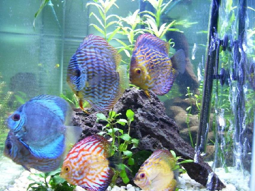 Rated #29: Freshwater Fish - Symphysodon Spp. - Neon Blue Discus Stocking In 100 Gallons Tank - All of my discus