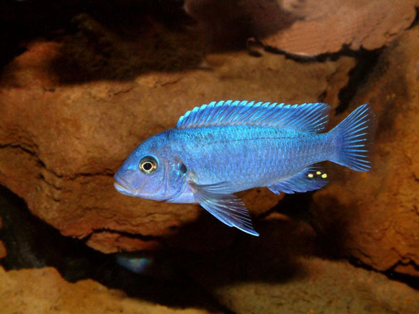 Rated #26: Freshwater Fish - Maylandia Callainos - Blue Cobalt Cichlid Stocking In 64 Gallons Tank - Maylandia Callianos 'cobalt Blue'