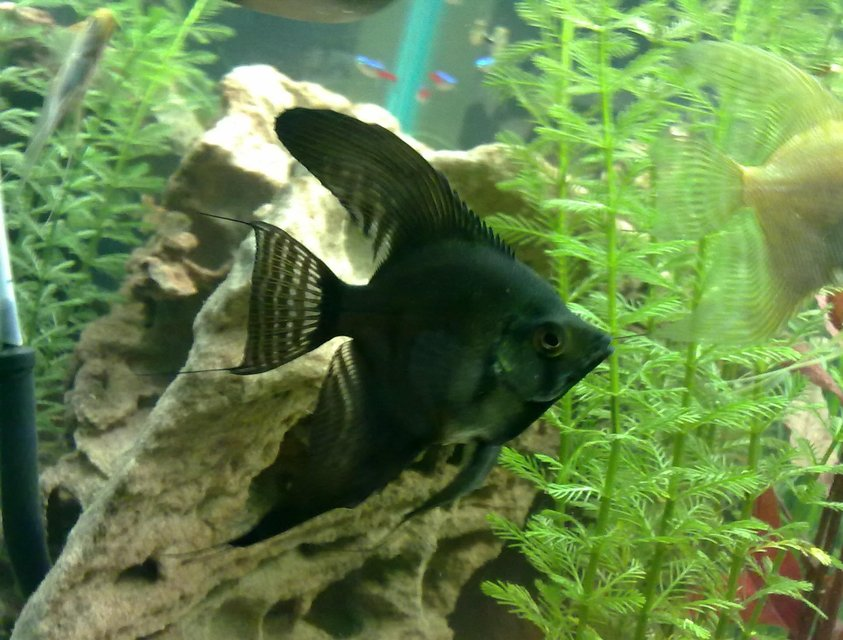 Rated #24: Freshwater Fish - Pterophyllum Sp. - Black Angel Stocking In 30 Gallons Tank - My black angel fish. Around 8-10months old