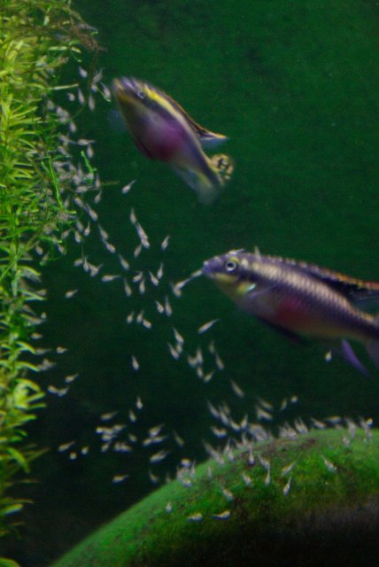 Rated #52: Freshwater Fish - Pelvicachromis Pulcher - Kribensis Cichlid Stocking In 75 Gallons Tank - My kribensis cichlid pair and their couple day old babies...