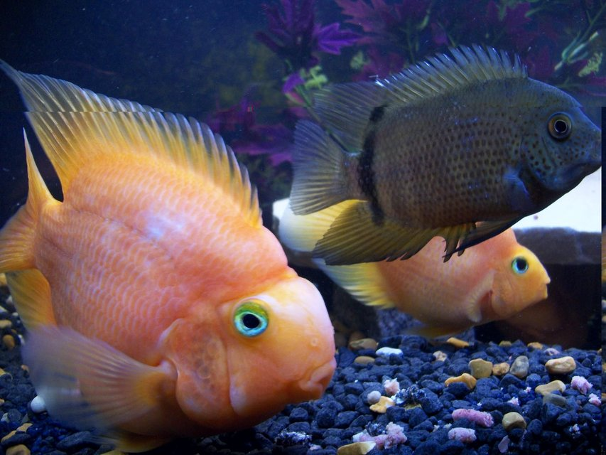 Rated #93: Freshwater Fish - Heros Severus X Amphilophus Citrinellum - Blood Parrot Stocking In 50 Gallons Tank - hard to show the scale size of 'big george' the parrot cichlid but the severum he is next to is all of 7-8 inches