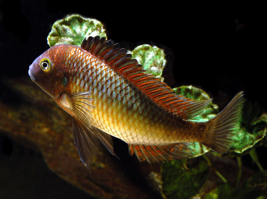 Rated #3: Freshwater Fish - Tropheus Moorii - Blunthead Cichlid Stocking In 125 Gallons Tank - Tropheus