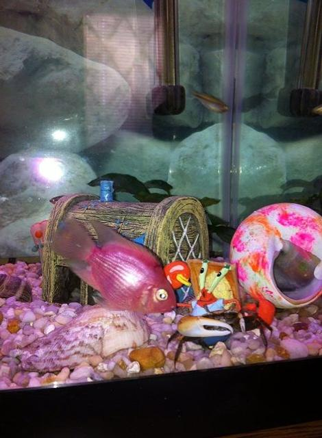 Rated #103: Freshwater Fish - Hoplarchus Psittacus - Parrot Cichlid Stocking In 25 Gallons Tank - Bubble gum parrot and crab