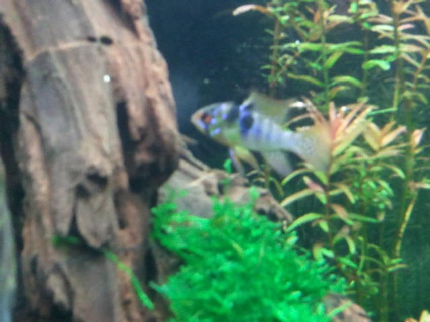 Rated #83: Freshwater Fish - Papiliochromis Ramirezi - German Blue Ram Stocking In 29 Gallons Tank - my gbr male