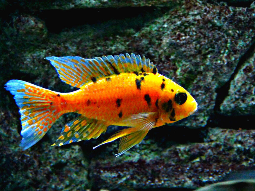Rated #9: Freshwater Fish - Aulonocara Nyassae Var. - Peacock Cichlid, Orange Blossom Stocking In 125 Gallons Tank - Orange OB Peacock