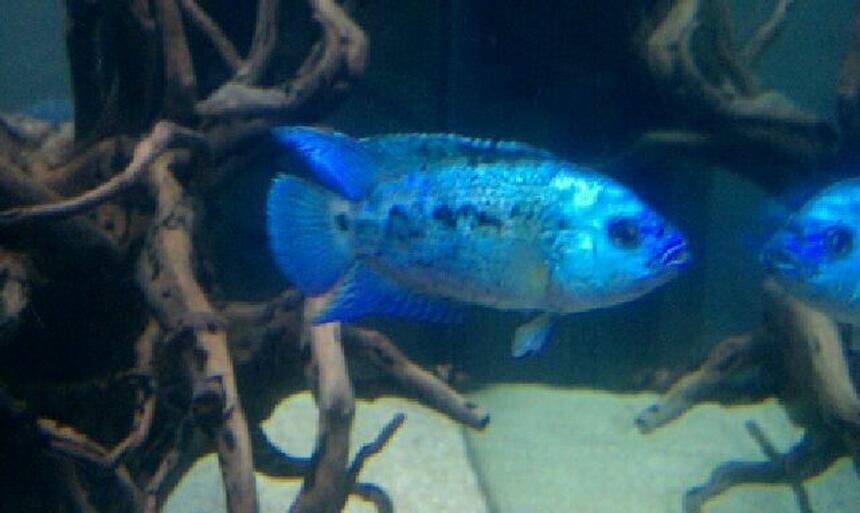 Rated #72: Freshwater Fish - Nandopsis Octofasciatum - Electric Blue Jack Dempsey ( Stocking In 75 Gallons Tank - My electric blue jack Dempsey.