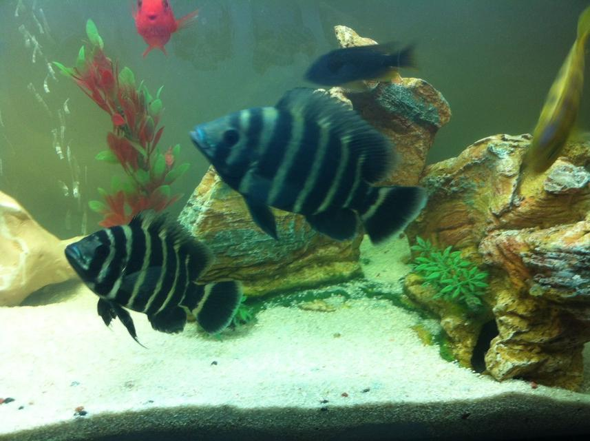 Rated #80: Freshwater Fish - Tilapia Butterkofferi - Buttikoferi Cichlid Stocking In 40 Gallons Tank - My tilapia cichlids