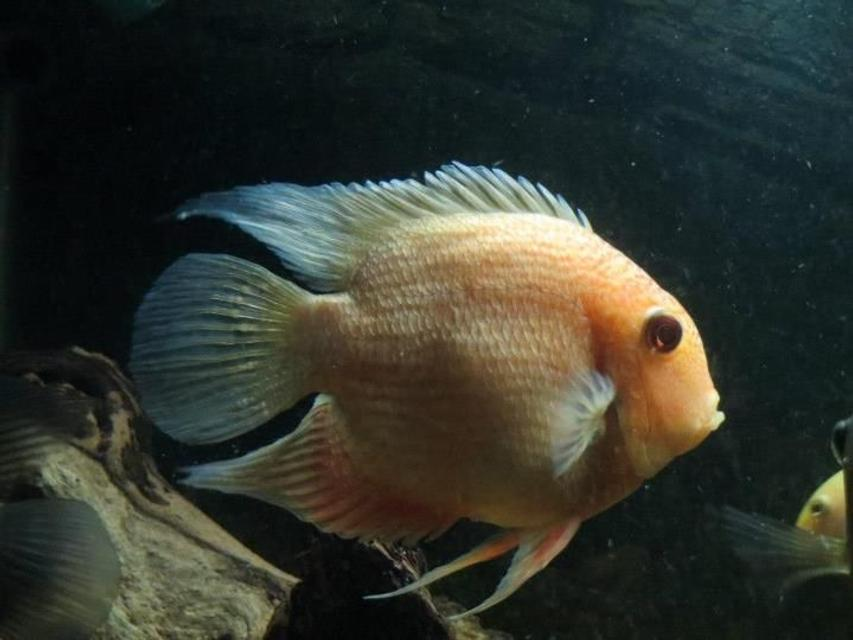 "Rated #38: Freshwater Fish - Heros Serverus - Gold Severum Stocking In 125 Gallons Tank - 7"" Male Gold severum"