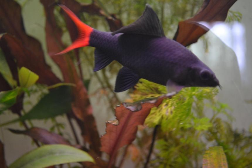Rated #49: Freshwater Fish - Epalzeorhynchos Bicolor - Redtail Shark Stocking In 120 Gallons Tank - Red-tailed black shark (Epalzeorhynchos bicolor), also known as the redtail shark and Labeo bicolor