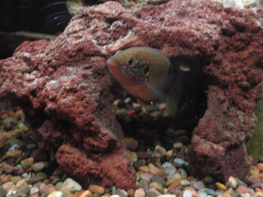 Rated #85: Freshwater Fish - Hemichromis Bimaculatus - Jewel Cichlid Stocking In 90 Gallons Tank - Jewel fish.